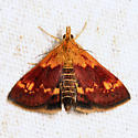 Orange Mint Moth - Pyrausta orphisalis