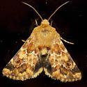 11110 Northern Flower Moth - Schinia septentrionalis