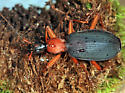 False Bombardier Beetle - Galerita bicolor