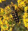 golden rod bug - Megacyllene robiniae