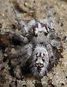 Canopy Jumping Spider - Phidippus otiosus