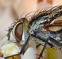 Tachinid  - Vanderwulpia sequens