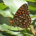 Speyeria sp - maybe coronis? - Speyeria coronis - female