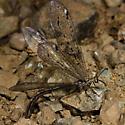 Ant lion from California - Mexoleon papago