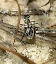 Eastern Beach Tiger Beetle - Habroscelimorpha dorsalis