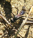 restless metallic black-blue petioled Wasp with furry thorax and smokey wings - Podalonia