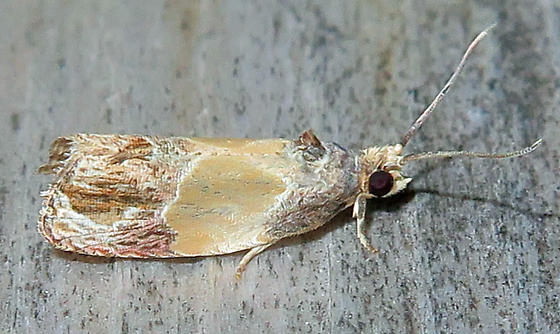 Sculptured Moth - Eumarozia malachitana