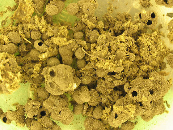 Pupal shells from puffball - Caenocara