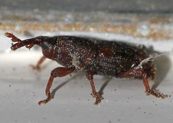 Which weevil is this? - Sitophilus