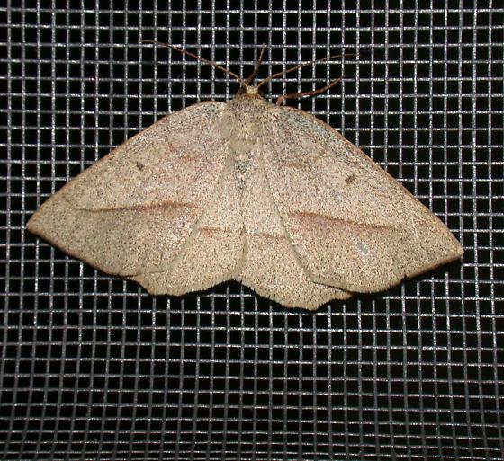 Least-marked Euchlaena - Euchlaena irraria - female