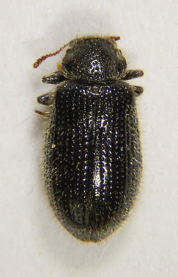 Tooth-necked Fungus Beetle - Laricobius nigrinus