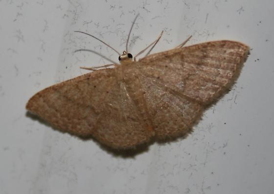 Common tan wave? - Pleuroprucha insulsaria - female
