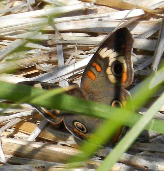 early Common Buckeye - Junonia coenia