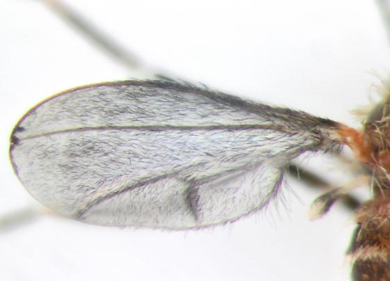 Cecidomyiidae, wing - Dasineura - female