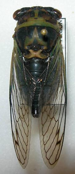 Tibicen davisi ssp. harnedi - Neotibicen davisi - male