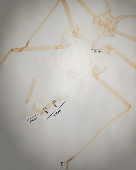 Sowthistle Aphid - Hyperomyzus lactucae