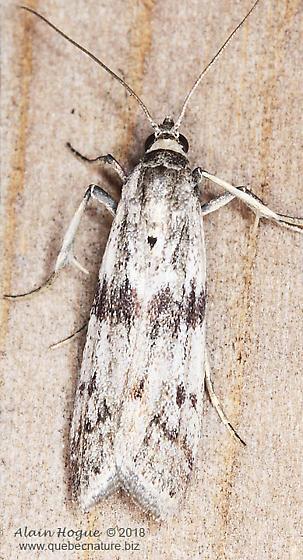 Gelechioidea ? - Homoeosoma deceptorium