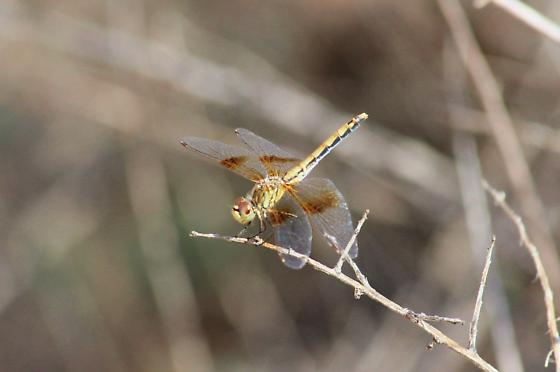 Unknown dragonfly - Sympetrum semicinctum