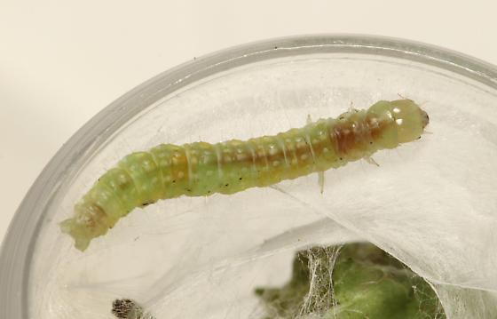 perhaps Tortricinae, larva on Wood Nettle