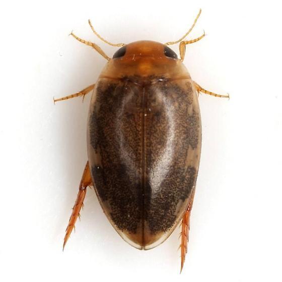 Laccophilus proximus Say - Laccophilus proximus - female