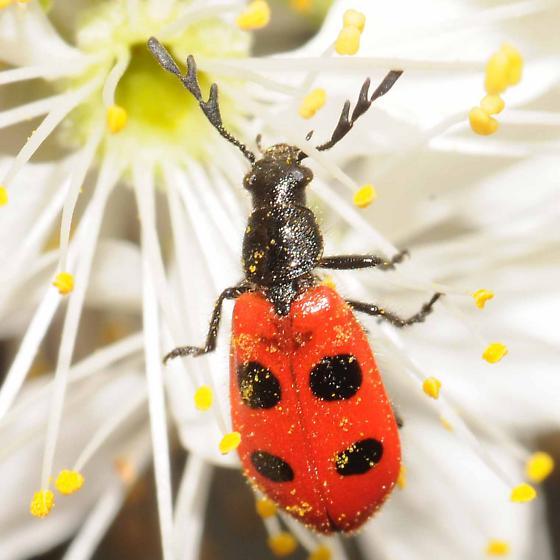Four-spotted Checkered Beetle Pelonides quadripunctatus - Pelonides quadripunctata