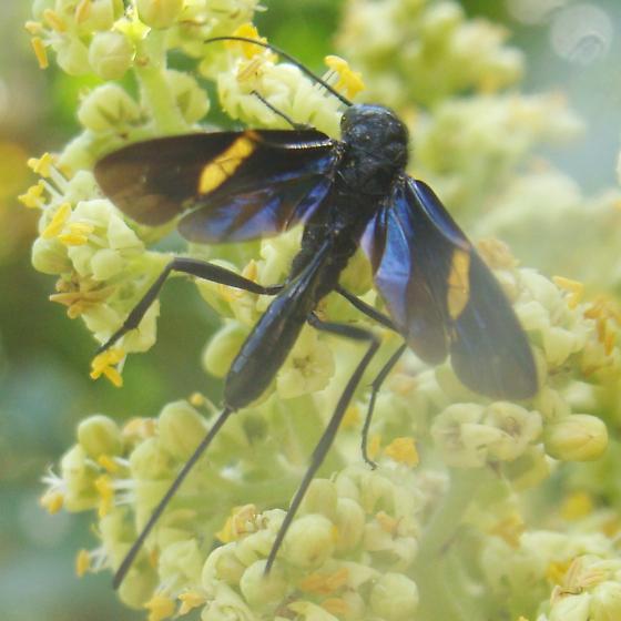 Pristaulacus fasciatus - female