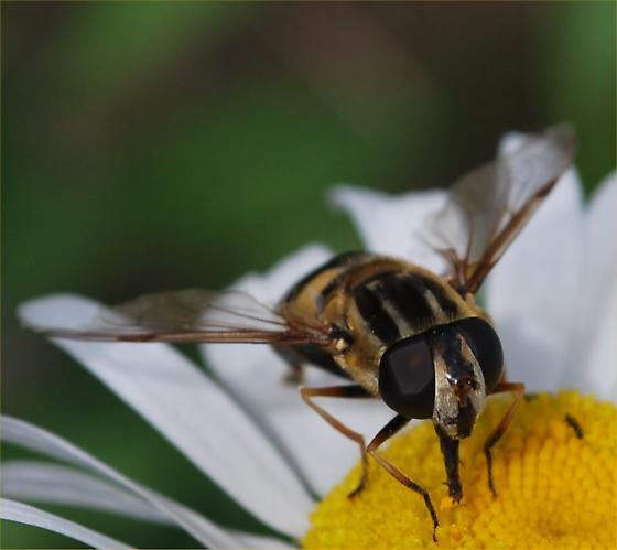 big fly - Helophilus