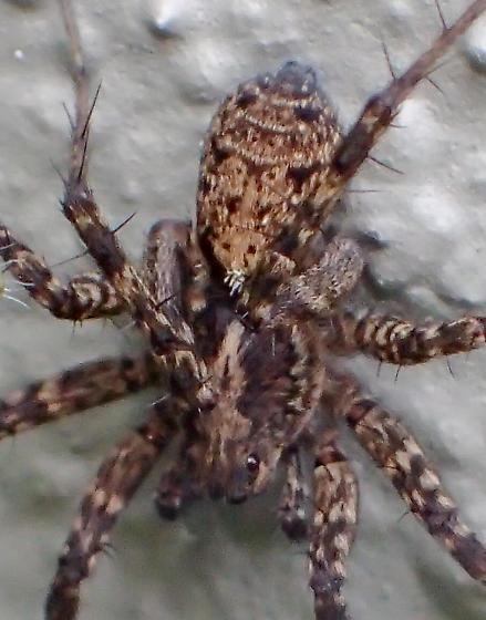 P. californica female - Pardosa californica - female