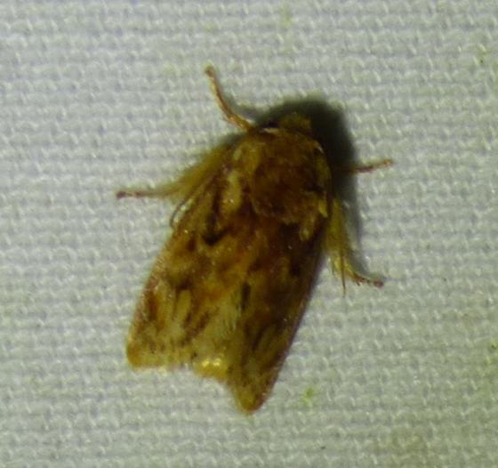 Isochaetes beutenmuelleri - Beutenmueller's Slug Moth - Isochaetes beutenmuelleri