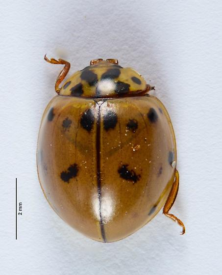Lady Beetle of sorts... - Olla v-nigrum