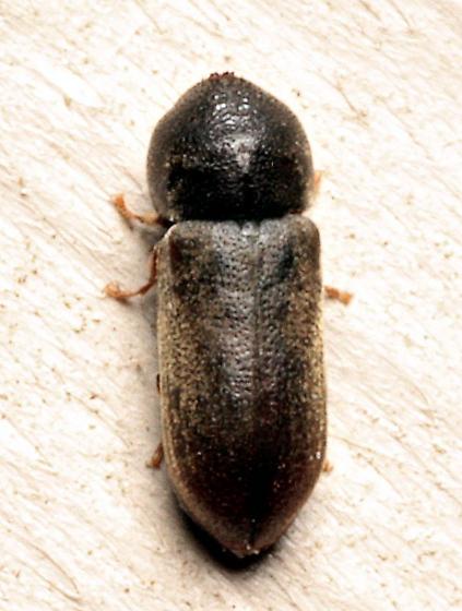 Beetle - Ptilinus ruficornis