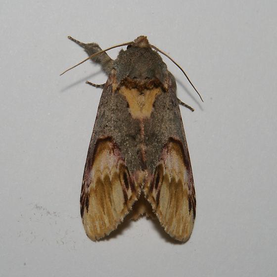 Schizura New Species from MPG Hodges 8011.96 - Schizura n-sp
