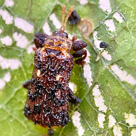 Octotoma marginicollis? - Octotoma marginicollis