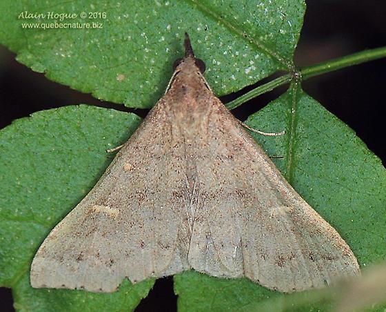 Moth - Renia adspergillus - male
