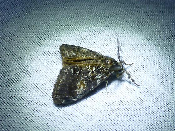 Noctuidae ? - Orgyia pseudotsugata - male