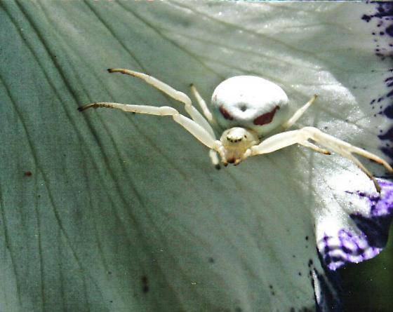 Orb Spider ???? ID Requested - Misumena vatia