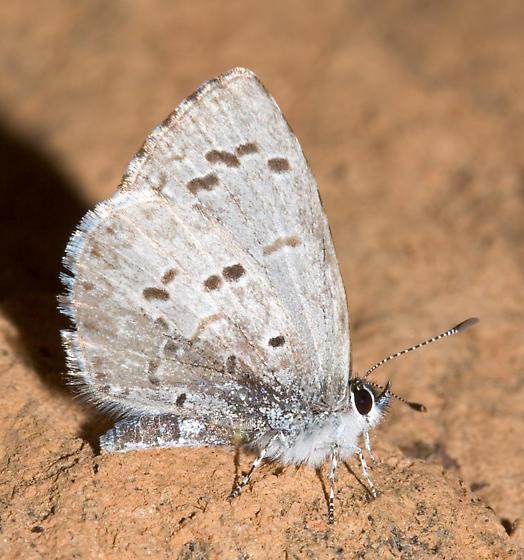 Southern Spring Azure - Celastrina ladon - male