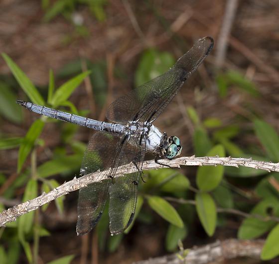 A pruinose skimmer - Libellula vibrans - male