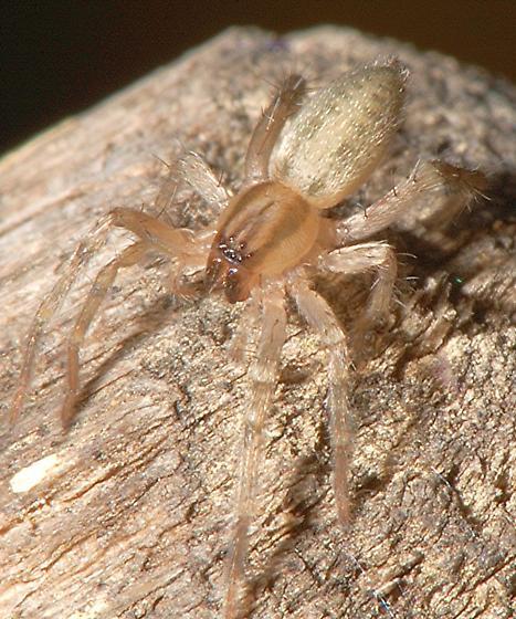 Pale Spider