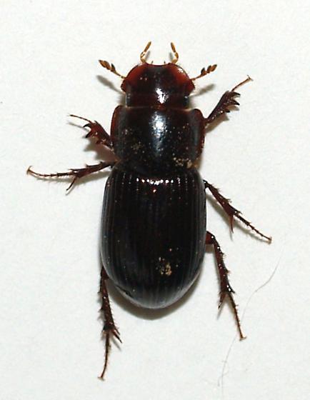 Aphodinae - Aphodius rudis