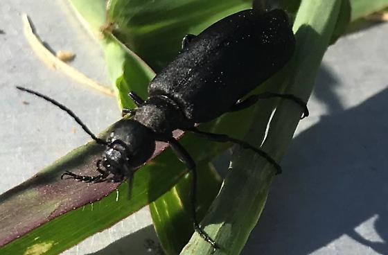 Black Blister Beetle? - Epicauta