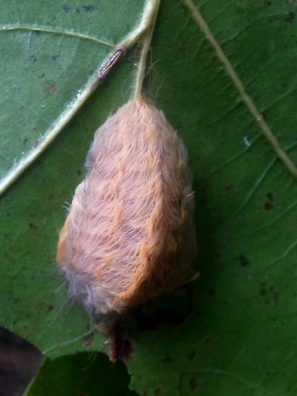 Flannel moth #3 - Megalopyge