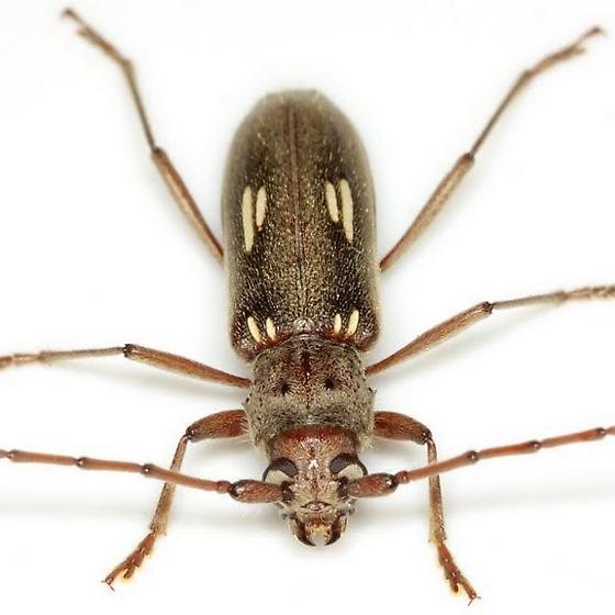 Eburia ovicollis LeConte - Eburia ovicollis