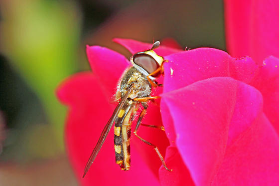 Syrphidae - Eupeodes