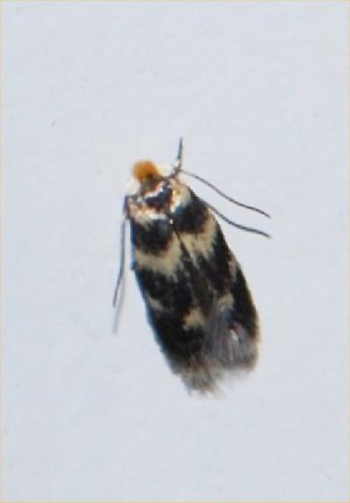 moth - Etainia sericopeza