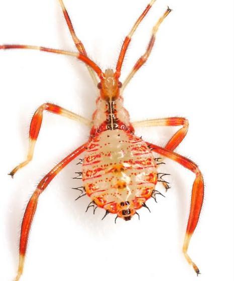 Acanthocephala terminalis (Dallas) - Acanthocephala terminalis