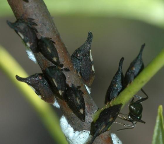 Treehopper - Enchenopa on-ptelea