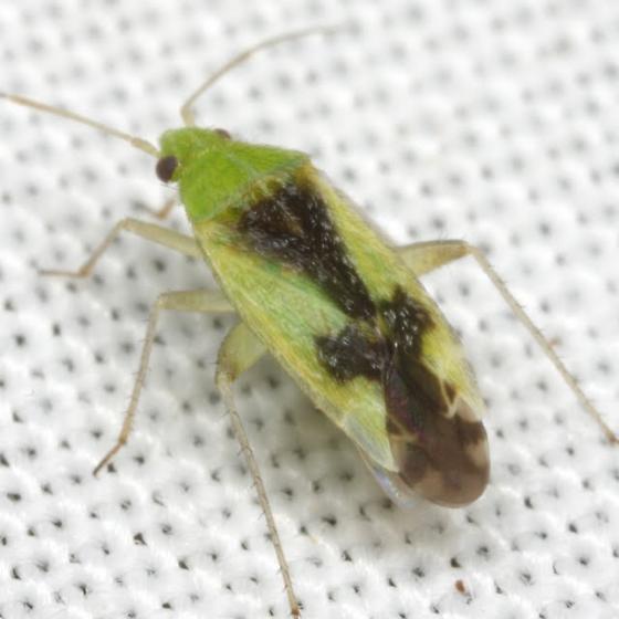 Reuteroscopus ornatus (Ornate Plant Bug) - Reuteroscopus ornatus