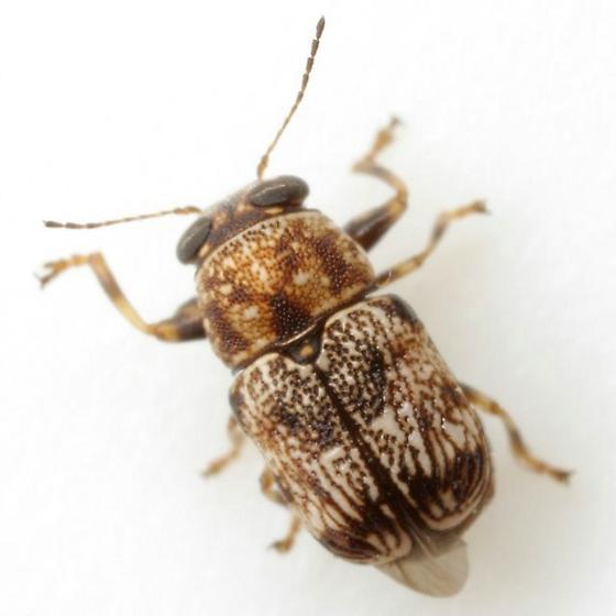 Pachybrachis sp. (EGR 2) - Pachybrachis