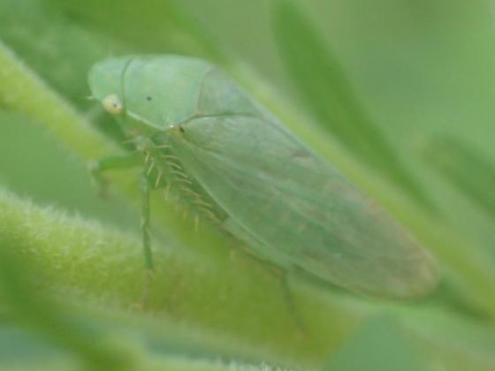 Planthopper - Gypona